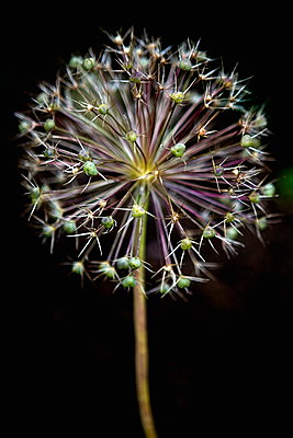 Allium cristophii.  - p1403m1482776 by Universal Images Group