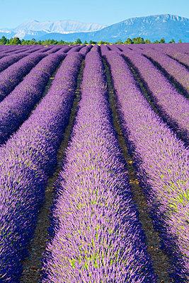 Lavender Field, Provence-Alpes-Cote d'Azur, France - p6511176 by Doug Pearson photography