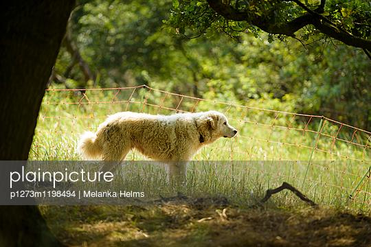 wachsamer Herdenschutzhund - p1273m1198494 von melanka