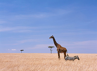 Giraffe standing in dry grass on the plains of the Masai Mara Game Reserve - p6441002 by Ian Cumming