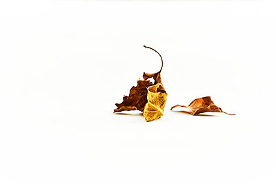 Withering leaves against white background - p851m2205860 by Lohfink