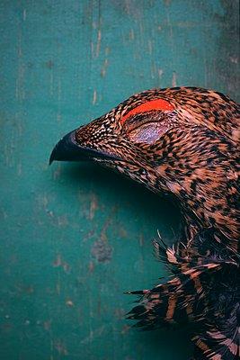 Female black grouse head - p1235m2126223 by Karoliina Norontaus