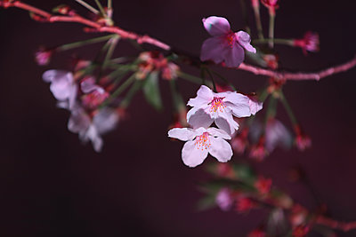 Cherry blossoms - p307m1174662 by Score. by Aflo