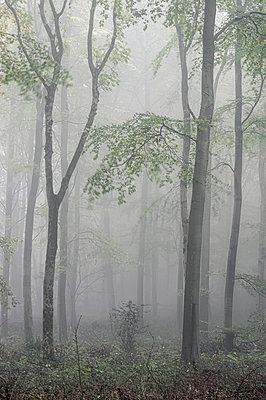 Fifty Acre Wood in mist at dawn, Leigh Woods, Bristol, England, United Kingdom - p871m2113632 by Bill Ward