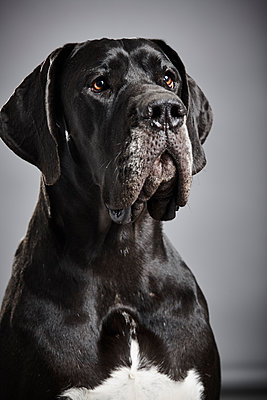 Portrait of mastiff - p1305m1138646 by Hammerbacher