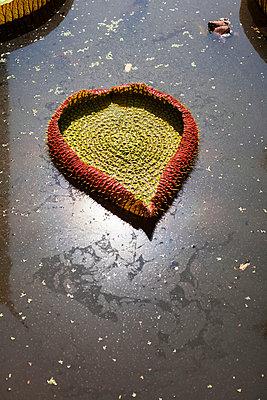 Herzförmige Wasserpflanze - p586m859161 von Kniel Synnatzschke