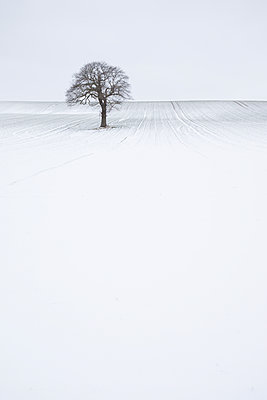 Lone solitary tree in winter snow covered field with plain background, Wakefield, West Yorkshire, Yorkshire, England, United Kingdom - p871m2019864 by David Speight