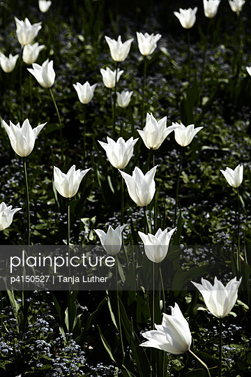 White tulips - p4150527 by Tanja Luther