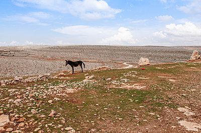 Einsamer Esel in Syrien - p1493m2063590 von Alexander Mertsch