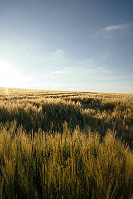 Sommerliches Getreidefeld icht - p946m859527 von Maren Becker