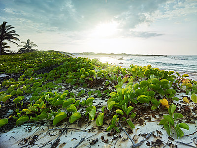 Plants growing at beach by Makalawena Bay against sky during sunset - p300m2131781 by Christian Vorhofer