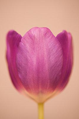 Tulip - p971m889732 by Reilika Landen