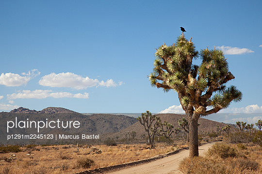 Einzelne Krähe auf einem Baum, Joshua Tree National Park, USA - p1291m2245123 von Marcus Bastel