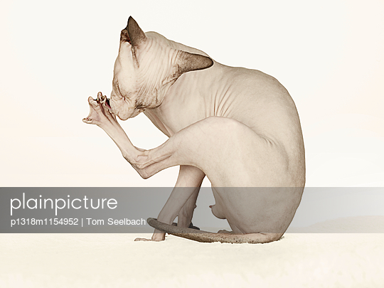 Nude Cat - p1318m1154952 von Tom Seelbach