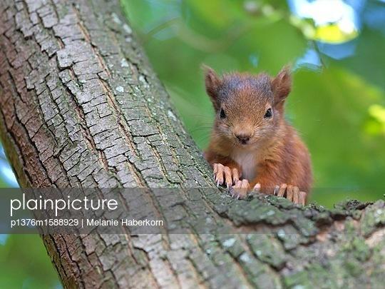 Baby-Eichhörnchen im Baum - p1376m1588929 von Melanie Haberkorn