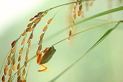 Frog and rice ears - p307m979203f by Tetsuya Tanooka