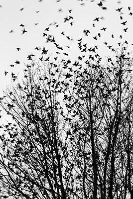 Starlings in flight - p739m890380 by Baertels