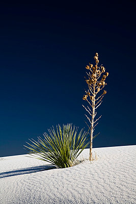 White Sands;  New Mexico;  USA - p1032m791578 by Fuercho