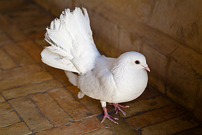 White dove - p1170m959586 by Bjanka Kadic