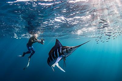 Striped marlin hunting mackerel and sardines, photographed by diver - p429m2068342 by Rodrigo Friscione