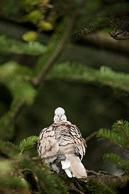 Attentive collared dove - p533m1556554 by Böhm Monika
