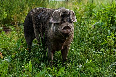 Buntes Bentheimer Schwein - p867m1051098 von Thomas Degen