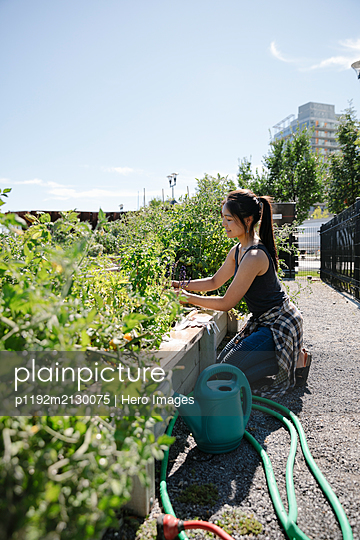Young woman tending to vegetable plants in sunny, urban community garden - p1192m2130075 by Hero Images