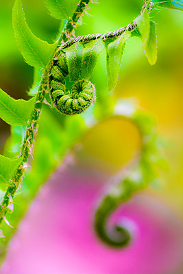 Close-up Of A Fiddlehead Fern Along The Cove Hardwood Nature Trail - p343m1223848 by Kennan Harvey