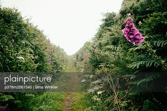 Narrow path between hedges. Cornwall, England, UK - p378m2061540 by Bina Winkler