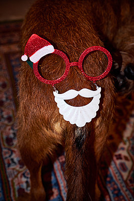 Dog with christmas decoration - p851m1528937 by Lohfink