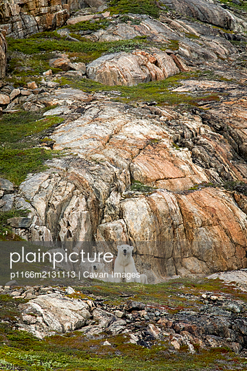Polar bear explores rocky shoreline, Torngats Mountains National Park - p1166m2131113 by Cavan Images