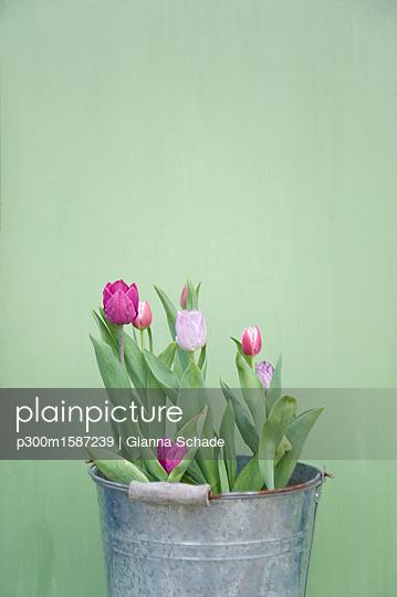 Tulips in metal bucket - p300m1587239 von Gianna Schade