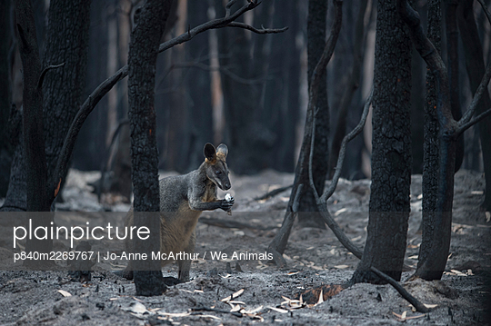 A lone Swamp wallaby (Wallabia bicolor) in a burnt forest in Mallacoota forages for fungi growing from the forest floor. Australia, January 2020 - p840m2269767 by Jo-Anne McArthur / We Animals