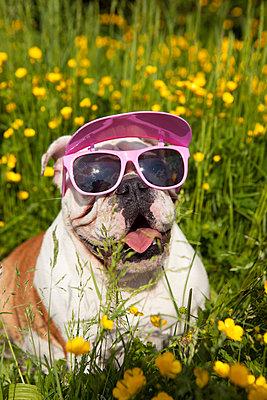 Englische Bulldogge mit Sonnenbrille - p045m1154787 von Jasmin Sander