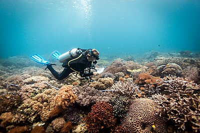 A scuba diver conducts a scientific survey on a coral reef, Raja Ampat, West Papua, Indonesia - p429m1062804 by Steve Woods Photography