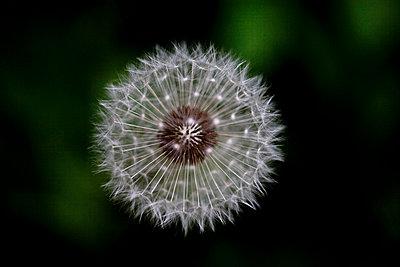 Pusteblume - p4451006 von Marie Docher