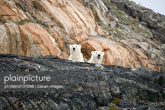 Polar bear explores rocky shoreline, Torngats Mountains National Park - p1166m2131098 by Cavan Images