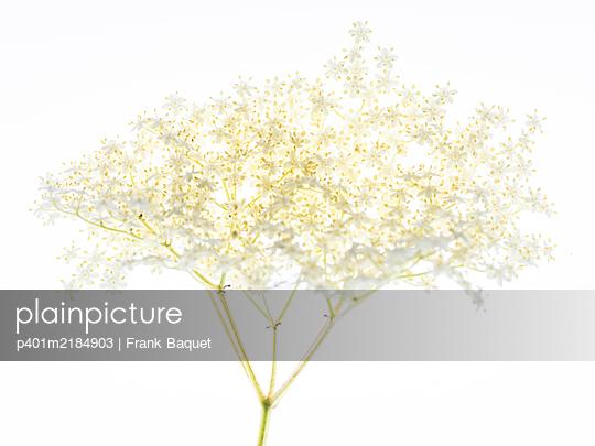 Elderflower - p401m2184903 by Frank Baquet
