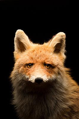Tierportrait Fuchs - p1357m2150498 von Amadeus Waldner