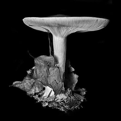 Single mushroom and autumn leaves - p1366m2260581 by anne schubert
