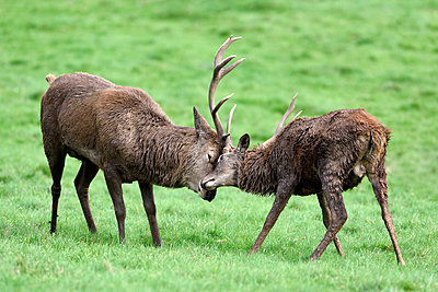 England, two red deer fighting, Cervus elaphus - p300m2062186 by Mark Johnson