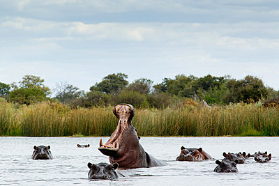 Belligerent hippo in river - p9242733f by Image Source