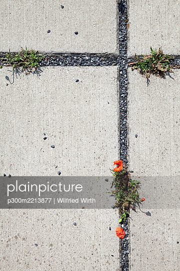 Concrete base plates with red poppies, Papaver, in the gaps - p300m2213877 by Wilfried Wirth