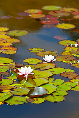 Lily Pond At Shore Acres State Park; Coos Bay Oregon United States Of America - p442m699896f by Craig Tuttle