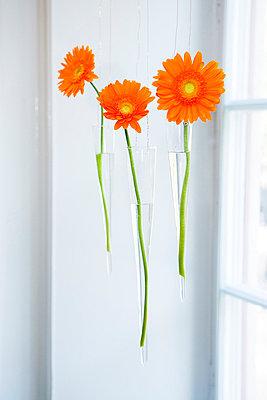 Orange Gerbera In Hanging Glass Vases By Window - p8473198 by Thomas Carlgren