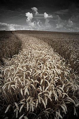 Kornfeld in Frankreich - p1137m1154990 von Yann Grancher