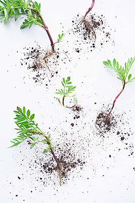 Small plants with roots - p1149m2027179 by Yvonne Röder