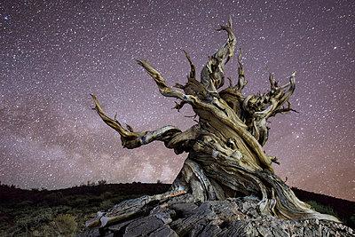 Bristlecone tree against star field at night - p1166m1193914 by Cavan Images