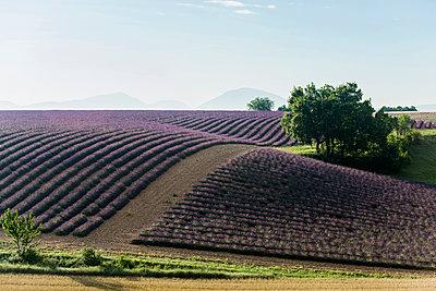 Lavendelfeld, bei Valensole, Plateau de Valensole, Alpes-de-Haute-Provence, Provence, Frankreich - p1316m1161030 von Daniel Schoenen