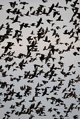 Hundreds of blackbirds fill the sky - p1480m2148192 by Brian W. Downs